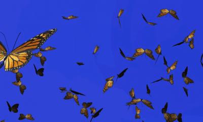 Monarch butterflies migration