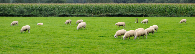 sheep panorama